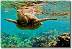 Honu Reflections by Shayla Middleton